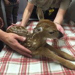 Douglas County fawn emergency created and averted; raccoon adventures